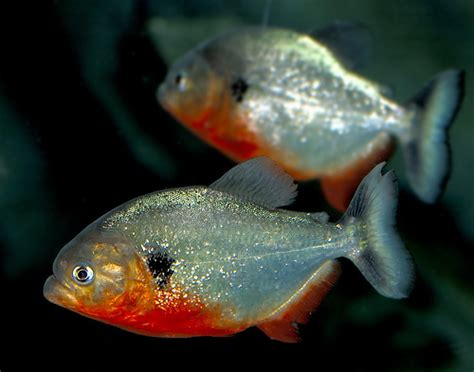 new year white belly fish fish with the belly piranha if this a piranha it