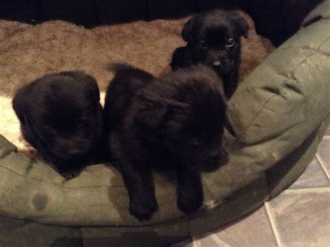 golden retriever puppies for sale cornwall labrador retriever x golden retriever puppies torpoint cornwall pets4homes