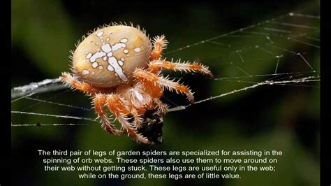 Garden Spider Vs Orb Weaver European Garden Spider Cross Spider Araneus