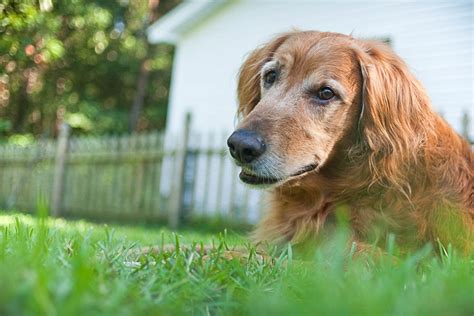 buddy golden retriever buddy the golden retriever by imagery pretty fluffy
