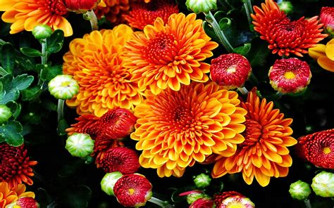fall mums colored flowers   garden   beautiful