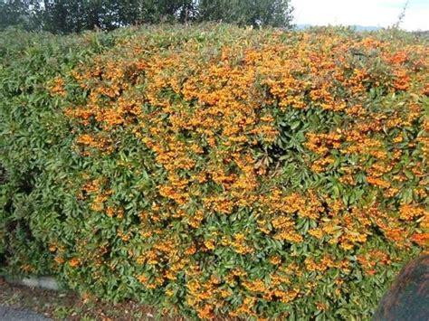 Siepe Con Bacche Rosse by Arbusti Da Siepe Siepi Come Scegliere Gli Arbusti Per