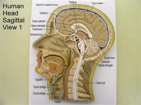 define section anatomy sagittal causes symptoms treatment sagittal