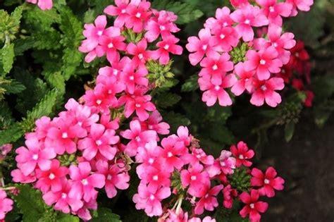 verbena fiore verbena verbena x hybrida verbena x hybrida perenni