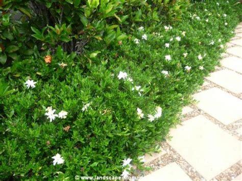 creeping dwarf gardenia 3 gallon shrub groundcover 25 trending dwarf gardenia ideas on pinterest dwarf