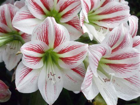 fotos de lirios flores picture to pin on pinterest pinsdaddy para hoy los lirios