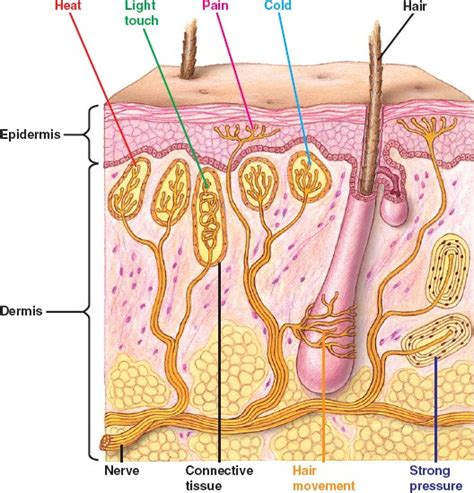 hair sensory hairs definition of sensory hairs by the mechano html 49 03humskinsensereceptor jpg