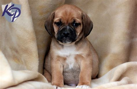 puggle puppies for sale in pa palmer puggle puppies for sale in pa keystone puppies puggle puppies