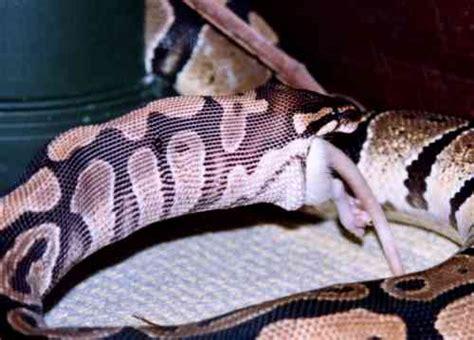 alimentazione pitone reale alimentazione pitone reale boidi serpenti rettili