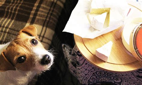 can dogs cheese can dogs eat cheese is it bad for them which types are healthiest