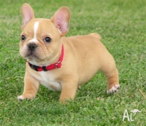 bulldog puppies for sale 300 milkish bulldog puppies for sale for sale in pialligo australian capital