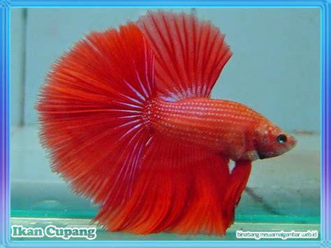 mewarnai gambar ikan cupang images