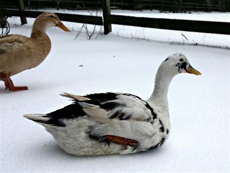 backyard ducks housing duck shelters for winter