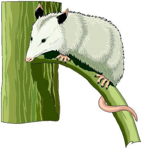 opossum clipart the gallery for gt opossum clipart