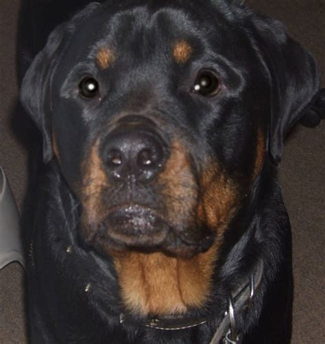 rottweiler information in rottweiler breed information puppies pictures