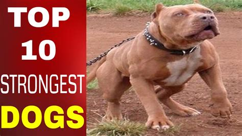 top 10 strongest dogs world strongest bite www pixshark images galleries with a bite