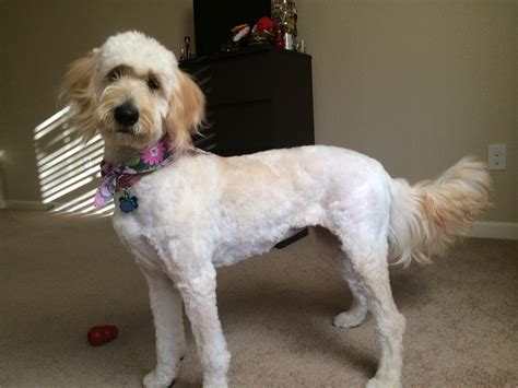 why is my goldendoodles hair short luna s 9 month hair cut goldendoodle terry farm