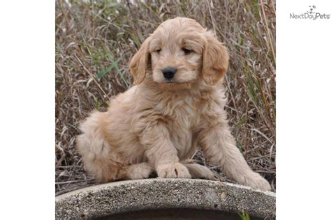 Goldendoodle Puppy For Sale Near Sioux Falls Se Sd