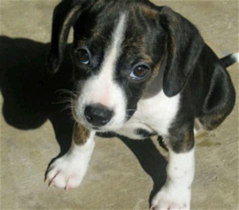boston terrier pomeranian mix boston terrier hybrid mix types and pictures