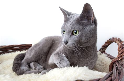 cat breed 8 popular cat breeds to russia russia beyond the
