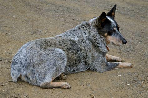 how to a blue heeler puppy heeler dogs