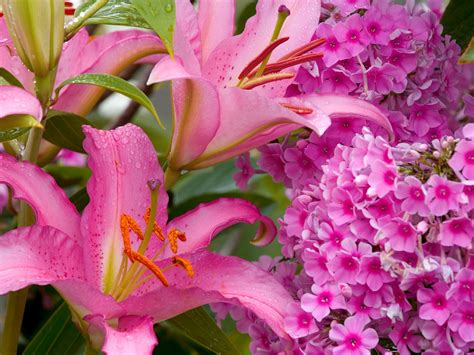 lilies or lillies lilly flower types hd wallpaper 1600x1200 free download