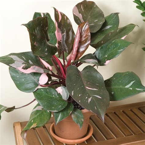 philodendron pink princess philodendron erubescens