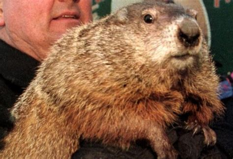 groundhog day tradition groundhog day evolved from early festival traditions