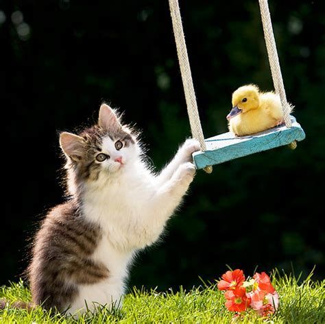 swing cats swing animal stock photos kimballstock