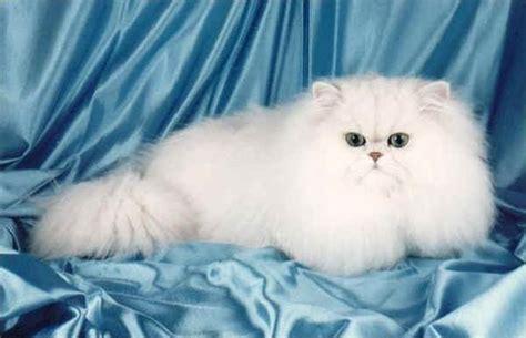 gatti persiani chinchilla razze gatti chinchilla