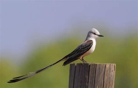 scissor tail mockingbird photo barry r byrd photos at