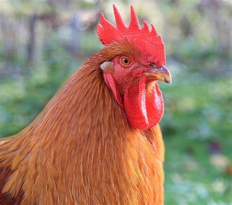 backyard chicken diseases guide to backyard chicken diseases