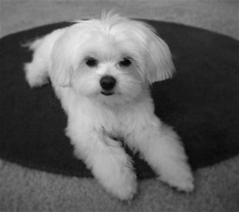 boy maltese haircuts pin maltese dogs haircuts image search results on pinterest