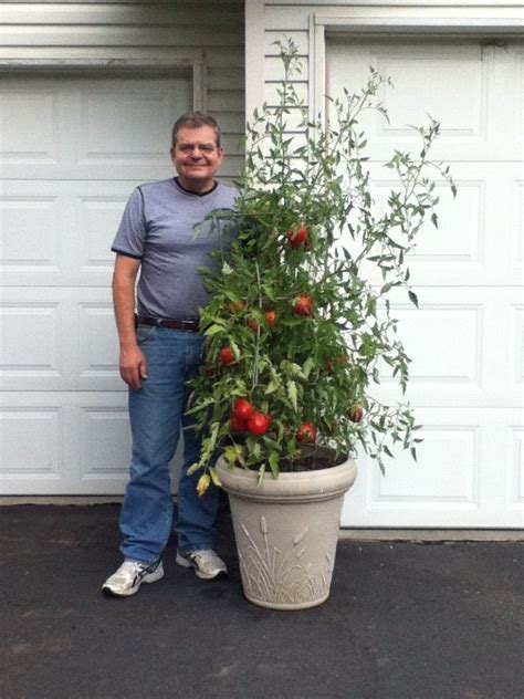 Tomato Planter Ideas by 17 Best Images About Container Tomatoes On
