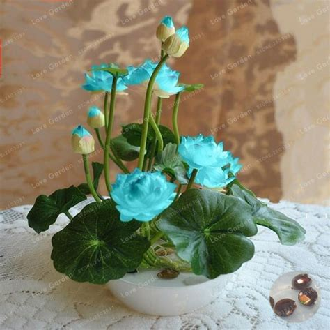Harga Murah Lotus Seed Benih Bunga Teratai Flower Biji Tanaman Air tanaman air dijual beli murah tanaman air dijual lots from