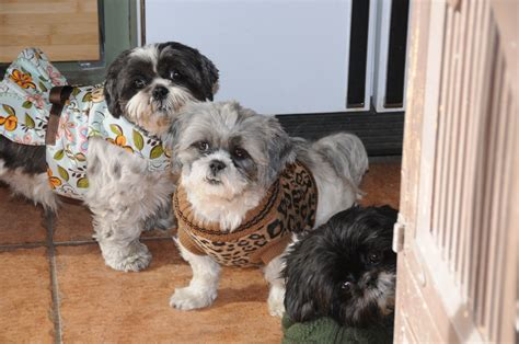 clothes for shih tzu clothes same shih tzu different day