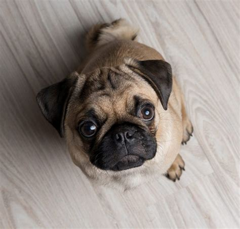 pug for sale singapore best quality bulldog puppies for sale singapore february 2018