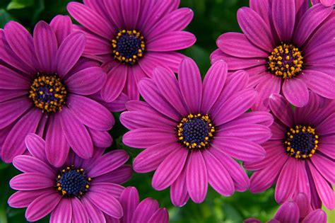 image for flowers osteospermum sunny mary gardenersworld com