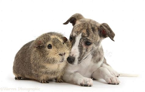 Pets: Brindle-and-white Whippet pup and Guinea pig photo ...