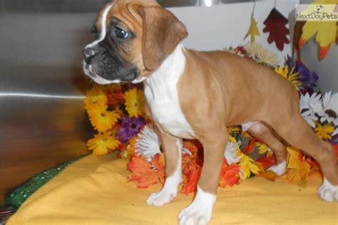 boxer puppies for sale in illinois boxer puppy for sale near chicago illinois 6d9018f1 e541