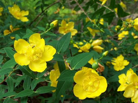 yellow flowered shrubs a shrub with yellow flowers flickr photo