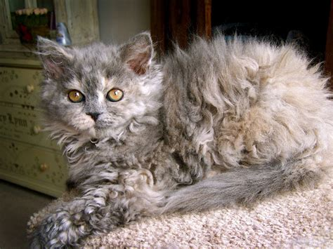 beautiful selkirk rex photograph