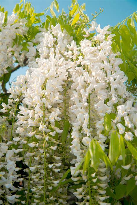 wisteria flower wisteria