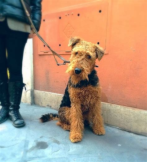 lifespan of a poodle terrier rome italy italy and airedale terrier on