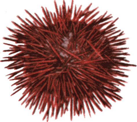 Sea Urchin Clipart sea urchin clipart www pixshark images galleries