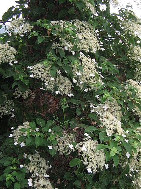 planting climbing hydrangea climbing hydrangea hydrangea petiolaris growing advice