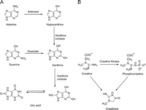 creatine gout chemical structures of uric acid creatinine hypoxanthine
