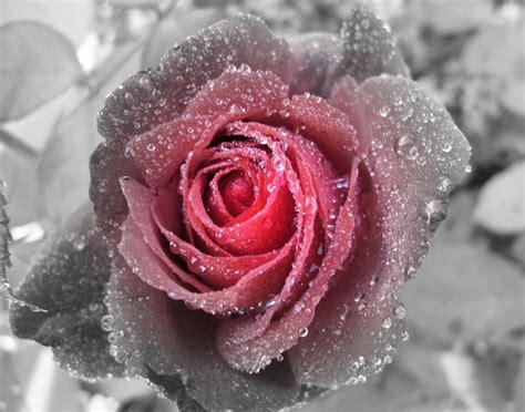 White Wall by Rot Schwarze Rose Foto Amp Bild Pflanzen Pilze Amp Flechten