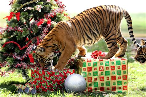 christmas tiger new calendar template site