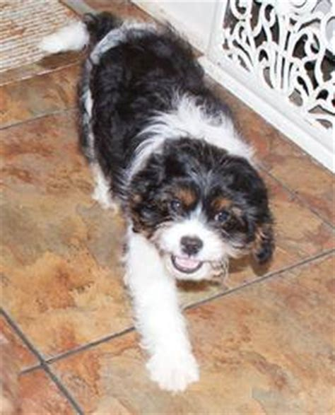 cavalier cross shih tzu cavalier king charles shih tzu cross puppy vancouver canada free classifieds muamat